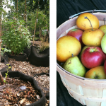 Thriving urban orchards help improve diets, rejuvenate communities